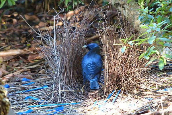 A Bower Bird is sitting in his nest created to entice a mate