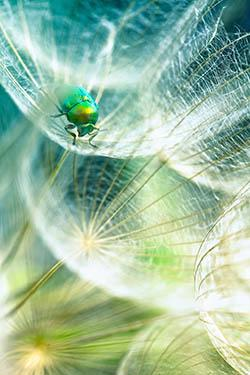 A bright green insect has settled on some Dandelion seeds.