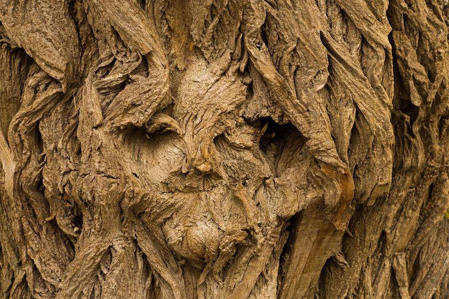 The bark of a tree resembles a face