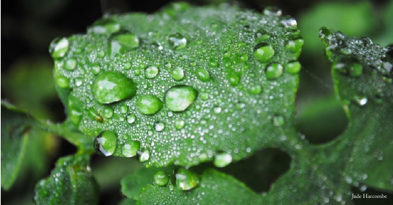A green leaf holds many drops of water