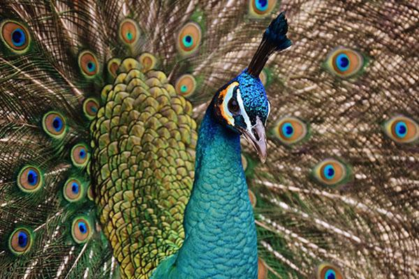 A close-up of a peacock
