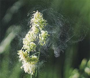 Plant with cloud of pollen